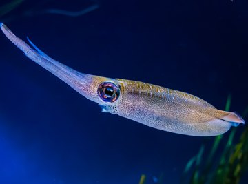 How to Determine Whether a Squid Is Male or Female