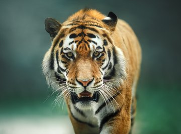 The Characteristics & Physical Features of a Tiger