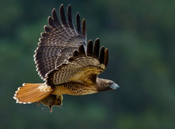 The Life Cycle of the Red-Tailed Hawk