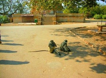 How Do Monkeys Communicate?