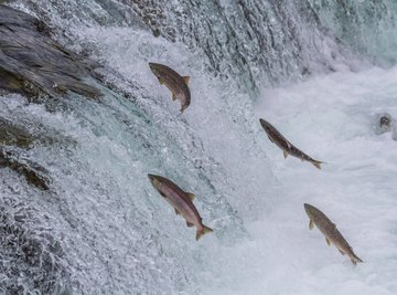 Salmons' migration can be made easier with a cannon.