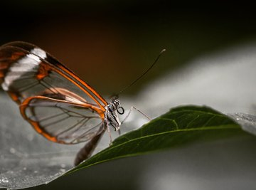 Facts About the Glasswing Butterfly