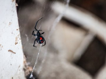 How To Tell The Difference Between Poisonous and Non-Poisonous Spiders