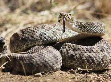 The rattles are perhaps the most defining feature of rattlesnakes.