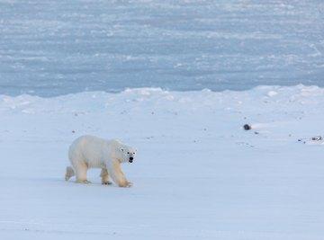 How Do Polar Bears Camouflage?