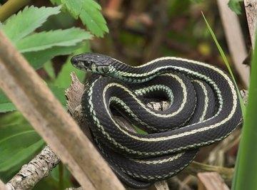 Difference Between a Garter & Garden Snake