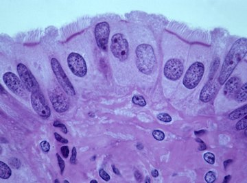 What Organelle Forms the Base for Cilia and Flagella?