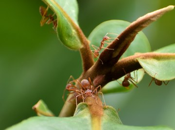 How to Identify Black & Red Ants