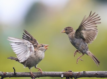 How to Differentiate Between a Male & Female Sparrow