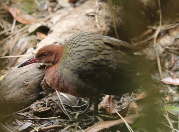 The white-throated rail is back, after being extinct for thousands of years.