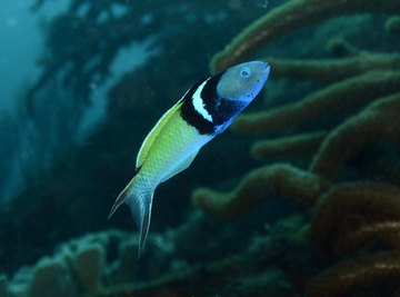 The bluehead wrasse is one of about 500 species of fish that can change their sex.