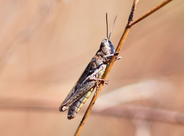 Characteristics That Grasshoppers & Crayfish Share