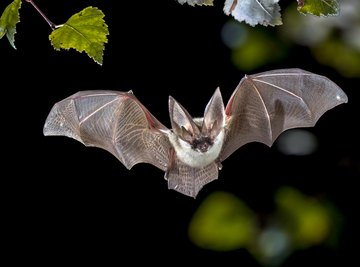 Bat Species Found in North Georgia