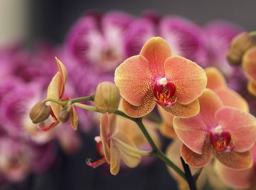 Can Orchid Flowers Change Color?