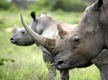 What Is the Horn of a Rhino Made Of