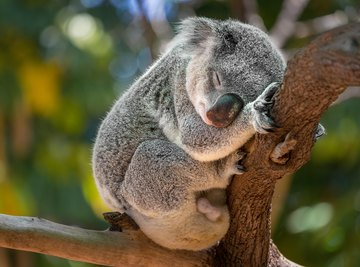 The latest wildfires have devastated the koala population in Australia.