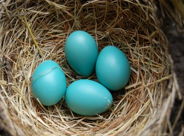 Baby birds can communicate from the comfort of their eggs.