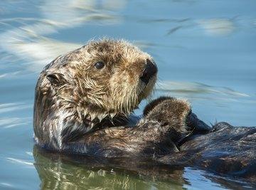 Cat feces is killing sea otters