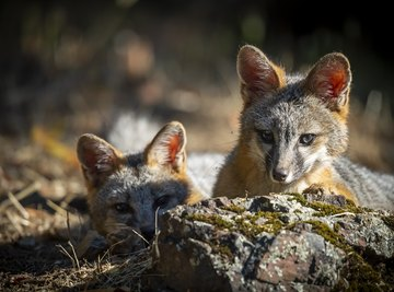 What Do Gray Foxes Eat?