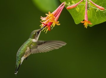 What Are the Times for Hummingbirds in Kansas?