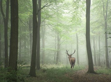 What Purpose Does the Deer Have in the Ecosystem
