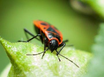 What Eats Boxelder Bugs