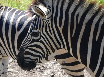 Scientists have finally figured out why zebras have stripes.