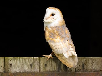 The Trophic Levels of the Barn Owl