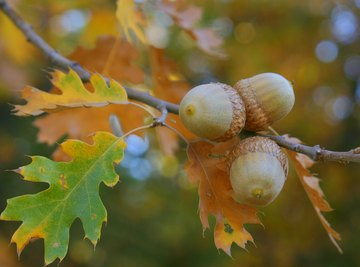 The Life Cycle of an Acorn Seedling Into a Tree