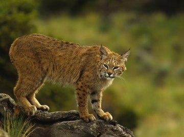 Types of Arizona Wild Cats