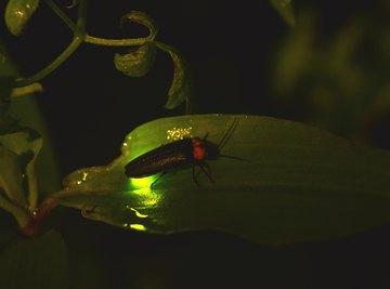How to Keep Fireflies Alive