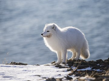 What Foods Do Animals Eat in the Tundra?