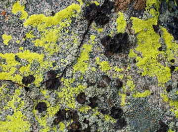 Lichens That Live in the Tundra