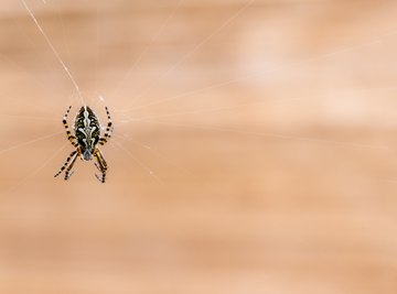 How to Identify Spiders by Size & Color