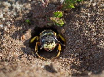 How to Identify Ground Wasps