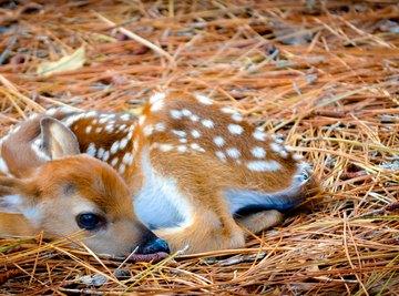How to Determine the Gender of Baby Deer