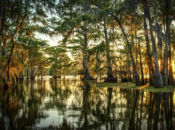 Types of Trees in Swamps