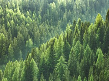 What Do Pine Trees Need to Survive?