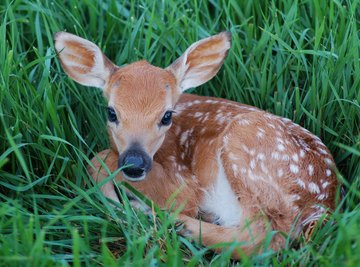 How to Tell a Fawn's Age