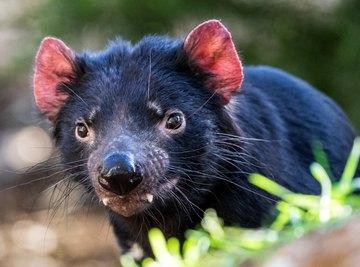 What Eats or Kills a Tasmanian Devil