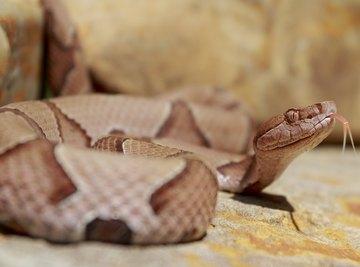 Copperhead Snake Identification in Virginia