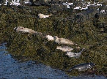 What Eats Harp Seals?