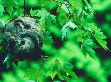 How to Preserve a Paper Hornet's Nest