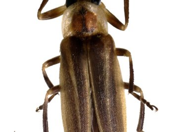 A firefly looks like many other bugs until the sun sets, and it sends out a bright yellow light from its abdomen.