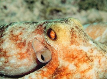 What Type of Animal Is an Octopus?