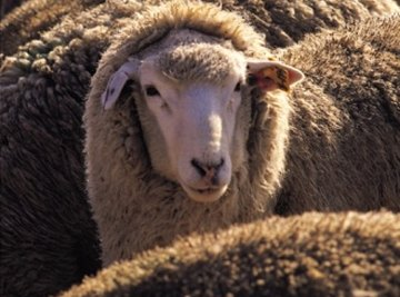 Sheep hides can make beautiful and soft rugs.