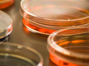 Agar is the colored material found inside a petri dish.