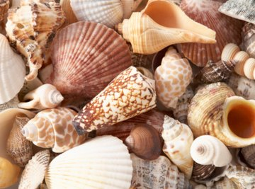 How to Identify Seashells on the Atlantic Coast