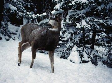 Sunflower seeds can supplement a deer's winter diet.