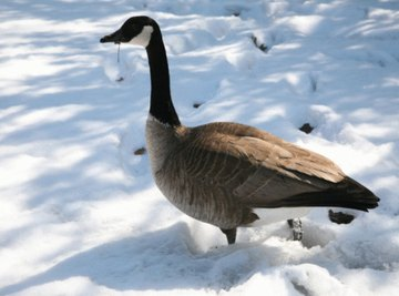 What Are Signs That Geese Are Mating?
